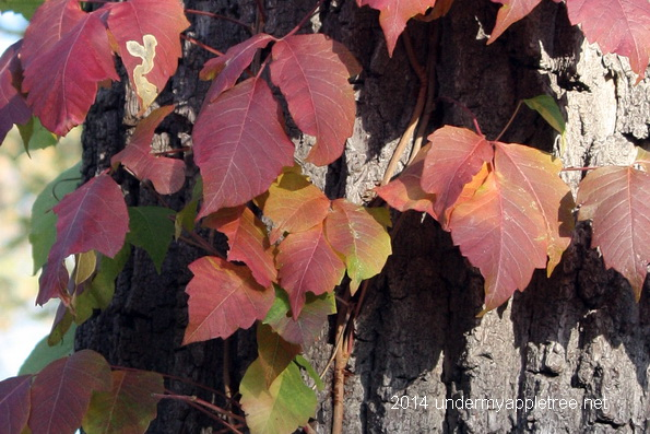 Poison Ivy Autumn Color