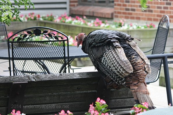 TurkeyOnPatio