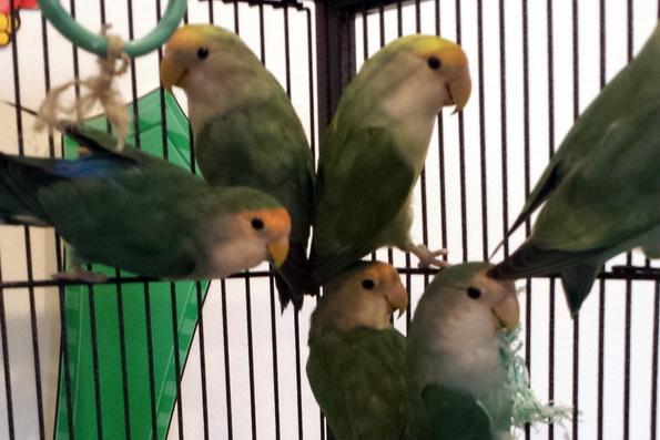 Lovebirds_131216