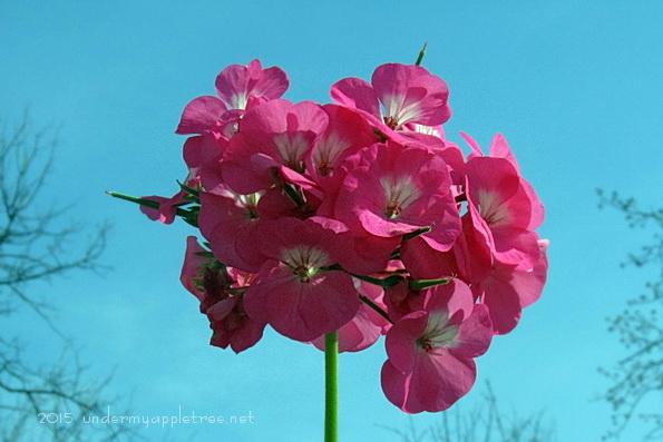 PinkGeranium_IMG_1269