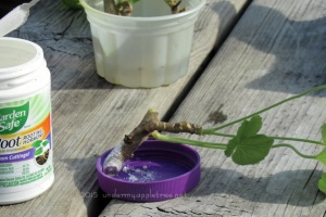 RootingGeraniums_IMG_1286