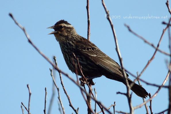 AngryRedWingBlackbird_IMG_4346