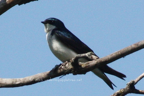 TreeSwallow_IMG_4215