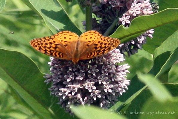 Fritillary Butterfly-sml_4514