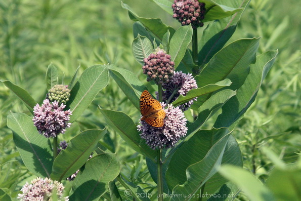 Fritillary Butterfly On Milkweed