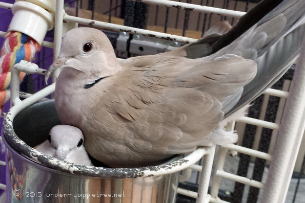 Ring-neckedDoves_120324