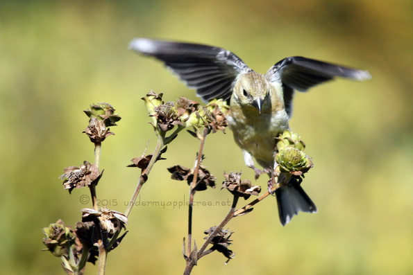 Goldfinch_IMG_0052