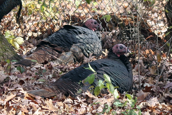 The turkeys conferred and decided it was safer to lay low until after Thanksgiving Day.