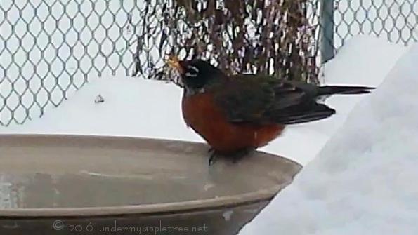 Robin-birdbath