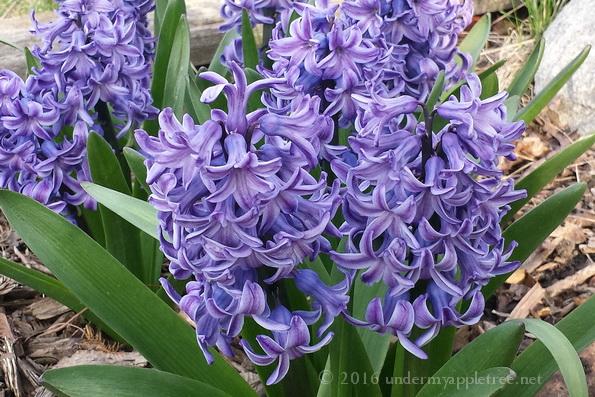 Hyacinths_20160424_180036