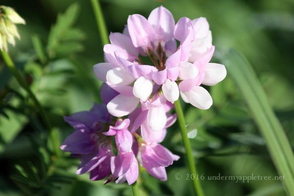 WildflowerPink_IMG_5459