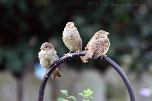 Juvenile House Sparrows