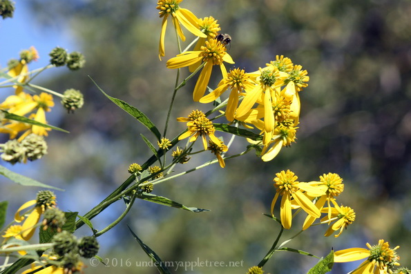 Tall Yellow Coneflower