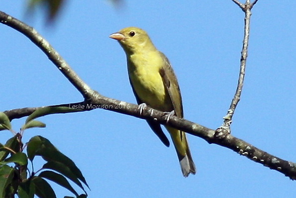 tanager-female-crop_img_5618