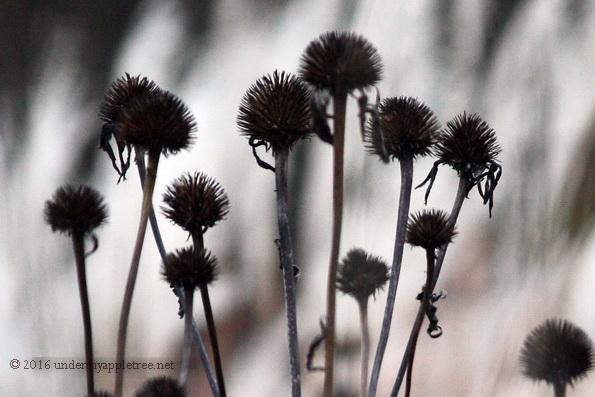 purpleconeflower_img_5731