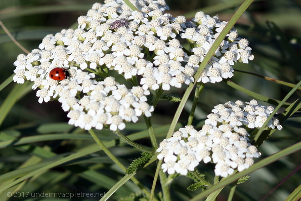 Apples And Queen Annes Lace >> Wordless Wednesday Queen Anne S Lace Under My Apple Tree